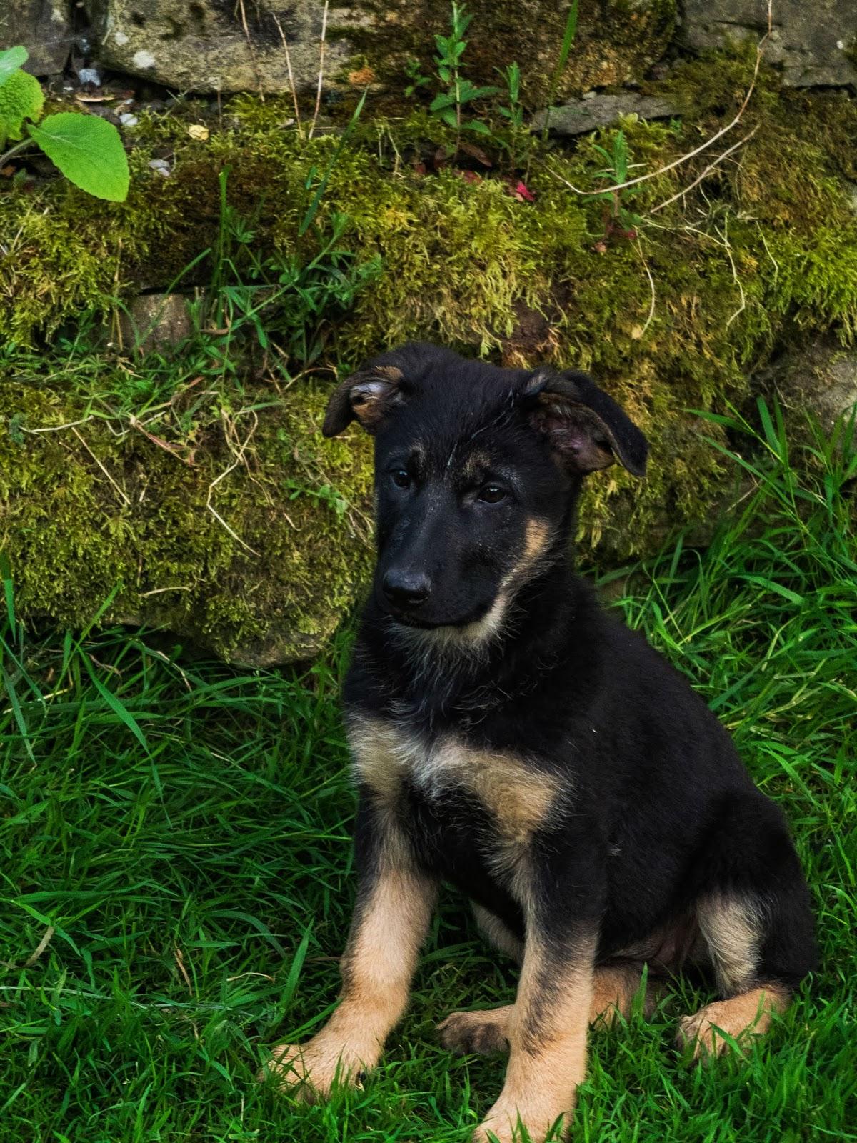 11 week old German Shepherd puppy sitting in the grass.