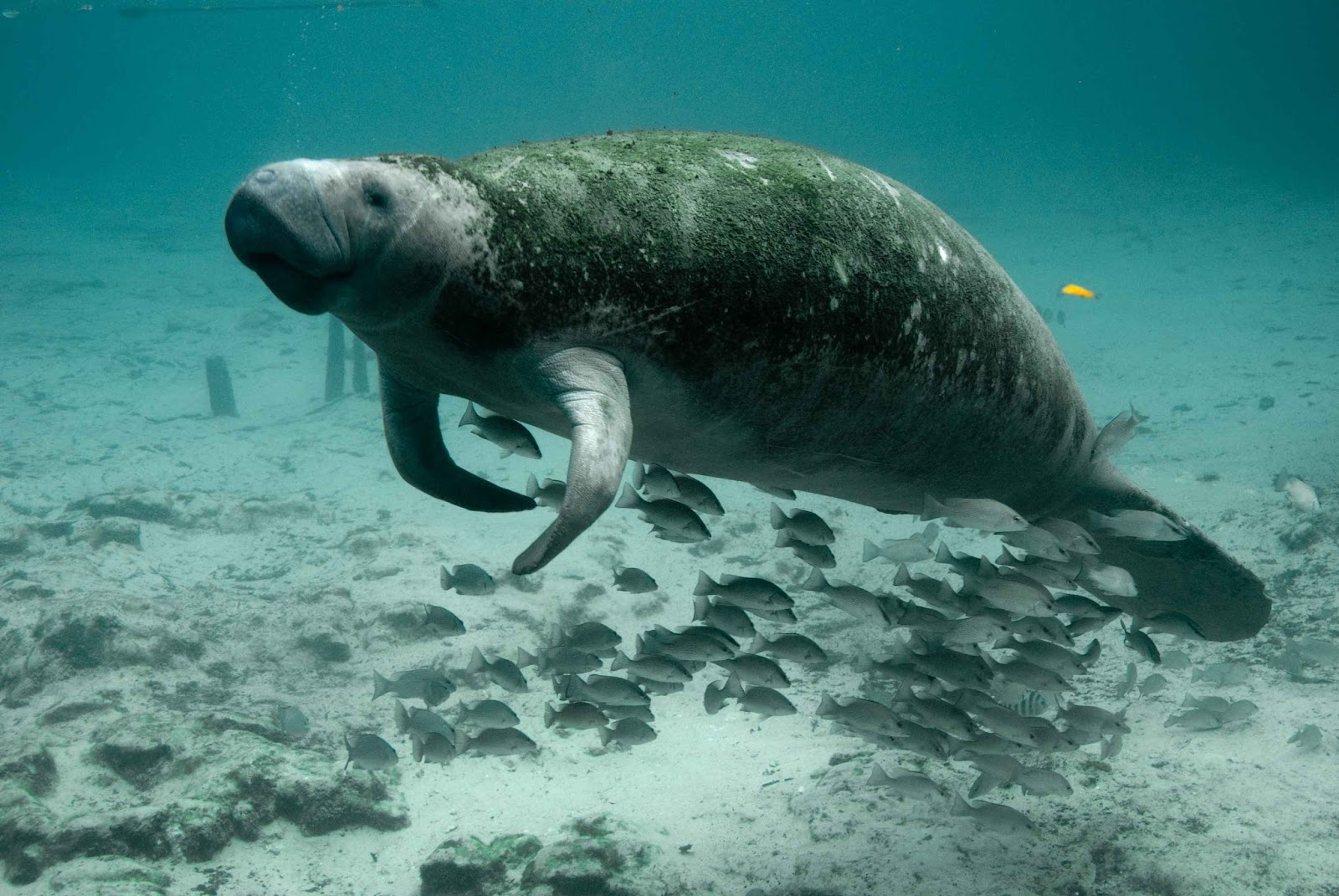Picture of a manatee or sea cow.