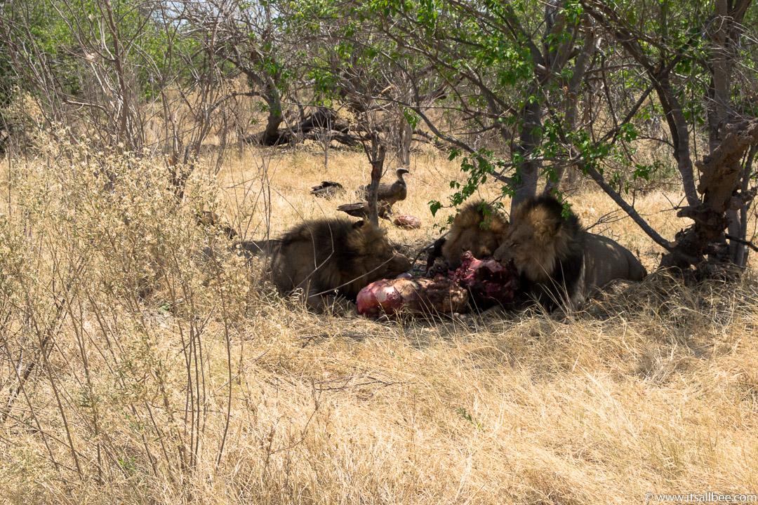 Visions of Wild In Africa's Botswana | Okavango Delta Safari | Okavango lions