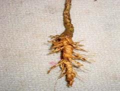 cara megobati infeksi saluran kecing dengan menggunakan akar bunga matahari