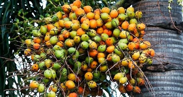 manfaat biji buah pinang