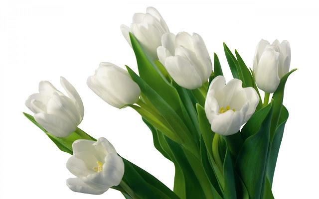Bijeli tulipani download besplatne pozadine za desktop 1920x1200 cvijeće biljke