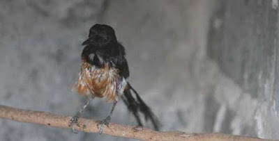 Burung Murai Batu Mabung