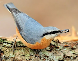 Eurasian Nuthatch Bird Song