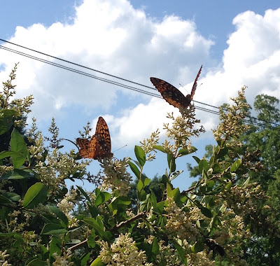 Butterflies on privet
