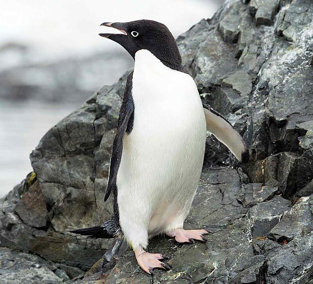 Pinguim de Adélia emitiu seu oráculo em Hope Bay: gelo aumenta e morrem de fome