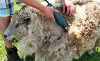 Mencukur Bulu Domba, Bisa Membantu Mempercepat Domba Menjadi Gemuk