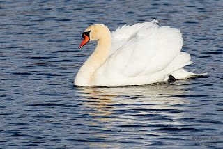 Bütykös hattyú, Mute Swan, Höckerschwan, Cygnus olor