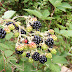 BLACKBERRY (Rubus. formerly Eubatus)