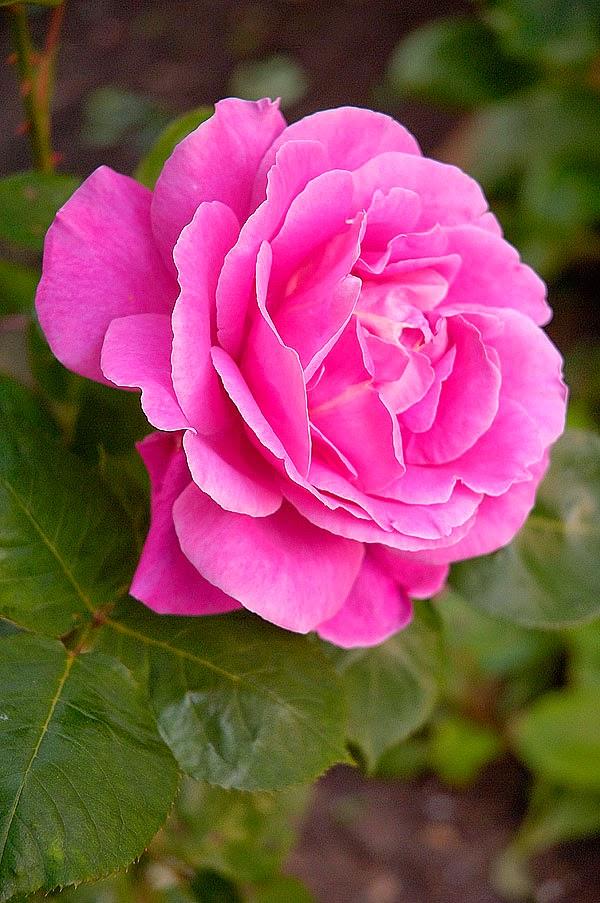 எதார்த்தம்.. Pink-rose