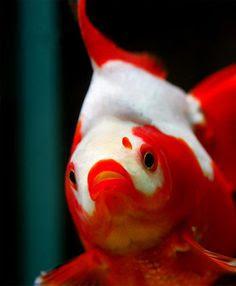 japon balıklarının büyümesini etkileyen faktörler