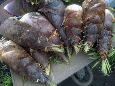 今回収穫した大きいタケノコを集めてみました。