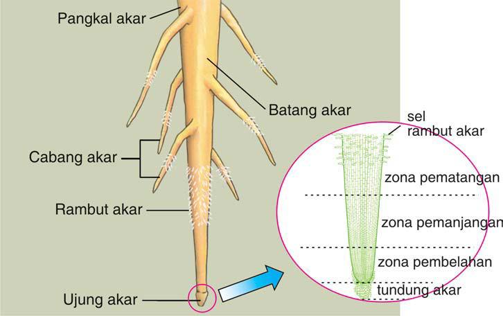 Mengenal Tumbuhan Anatomi Dan Morfologi Tumbuhan