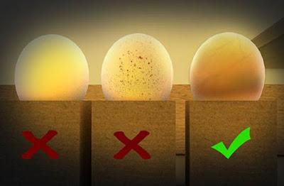 Solusi Penyebab Telur Lovebird Tidak Isi