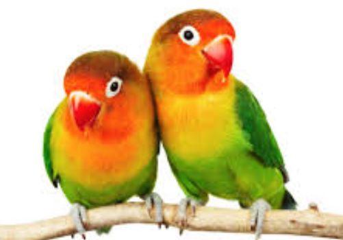 Ternak Lovebird Surabaya