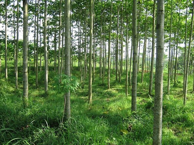 http://tipspetani.blogspot.com/2017/10/cara-pemyemaian-dan-perawatan-pohon.html