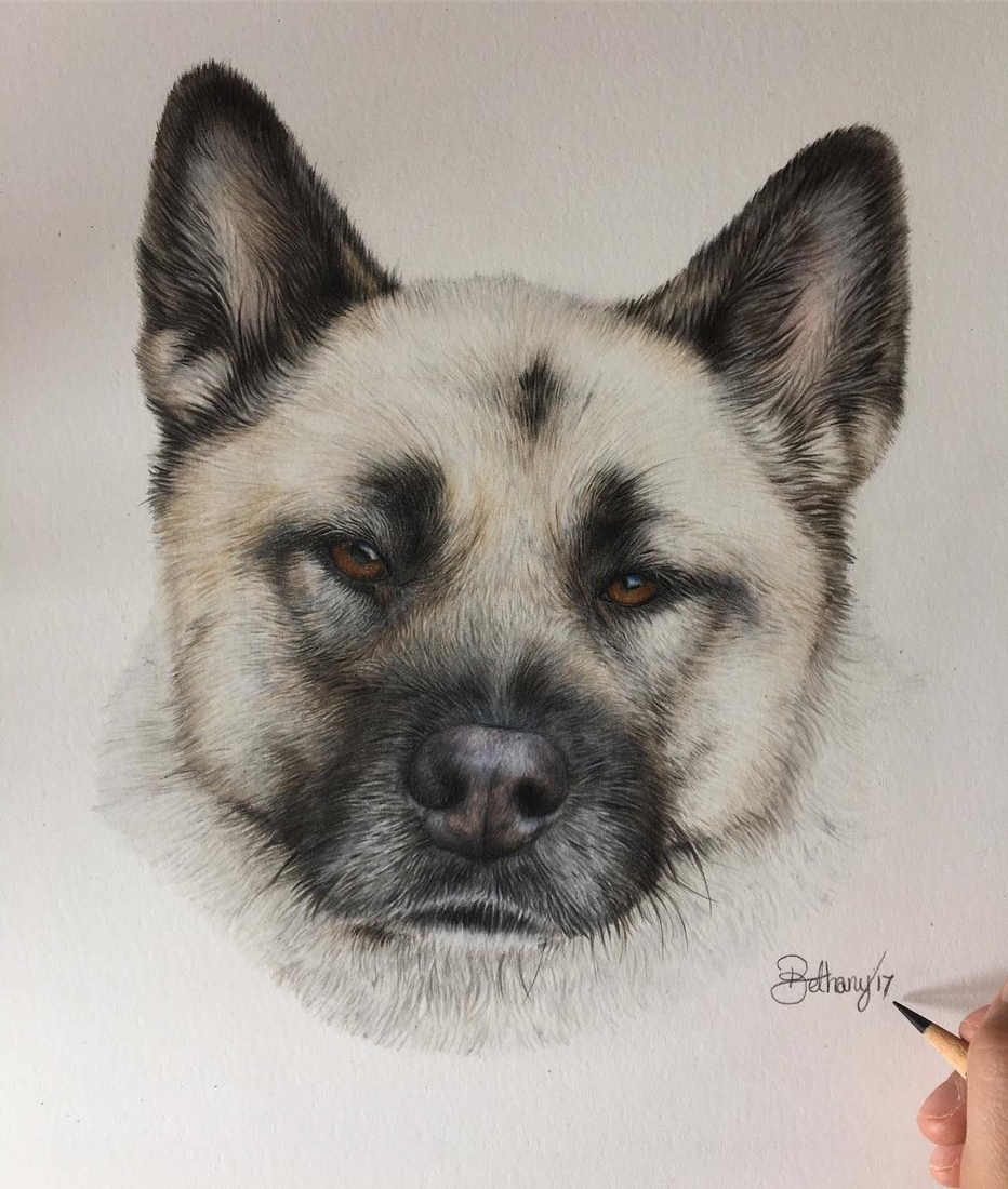 02-Akita-Bethany-Vere-Colored-Pencils-Realistic-Animal-Drawings-www-designstack-co