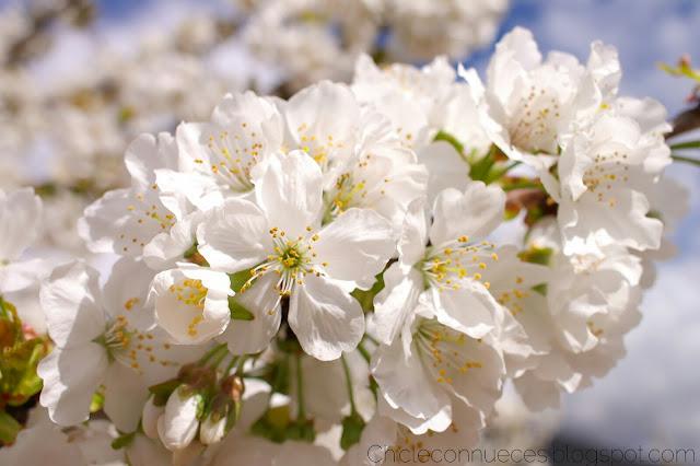 Jerte floracion cerezos