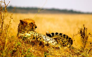 Wallpaper: Serengeti Plains: Cheetah & Lioness