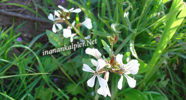Roka çiçeği