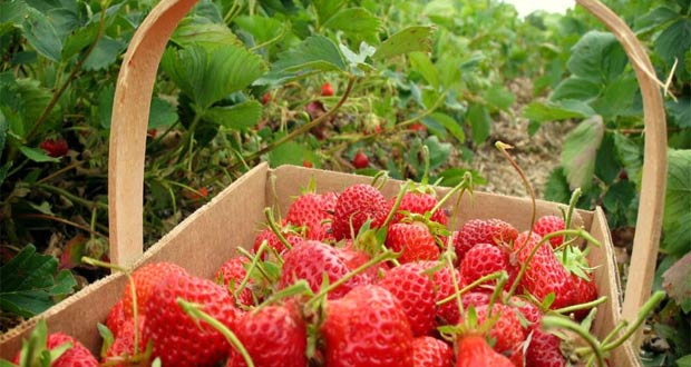 Kebun Strawberry Ciwidey (Foto : stihyapertiba.blogspot.com)