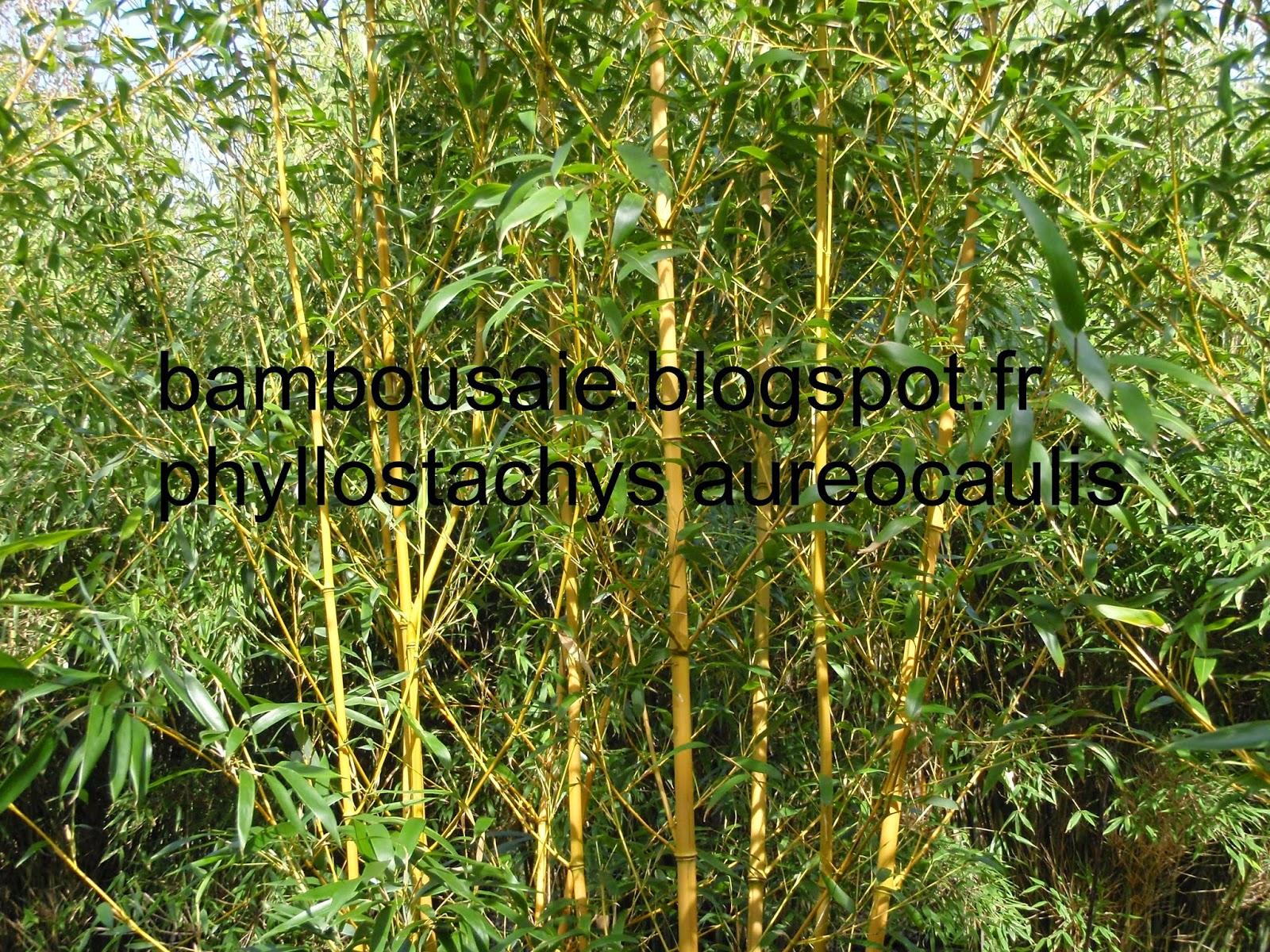 la bambouseraie vente de bambou en motte. Black Bedroom Furniture Sets. Home Design Ideas