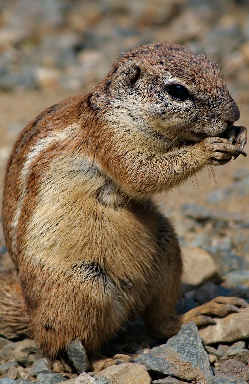 Photo of a chipmunk.