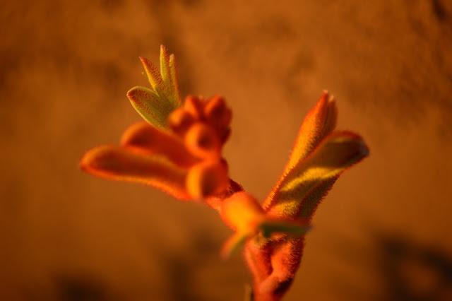 anigozanthos, flavidus, kangaroo paws, garden, plant, perennial, small sunny garden, amy myers, photography, desert garden, arizona garden