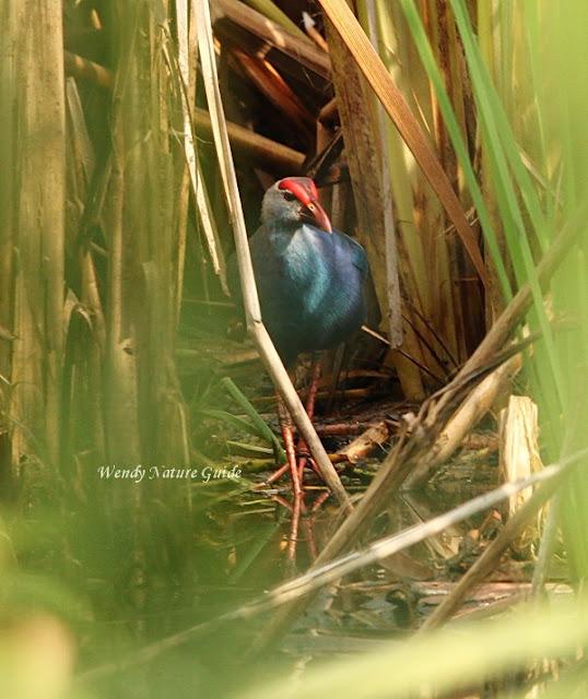 Langkawi birdwatching swamphen hideout