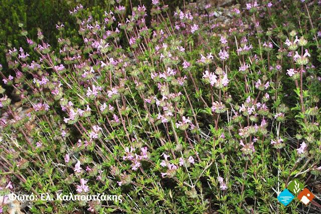Μέτρα για την προστασία αρωματικών φυτών της προστατευόμενης περιοχής  Πάρνωνα - Μουστού