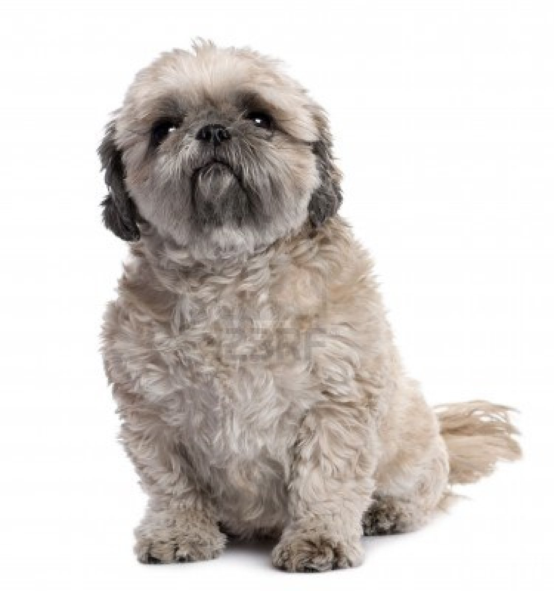 Blue Eyed Shih Tzu Cute Puppy Dogs Shih Tzu Puppies