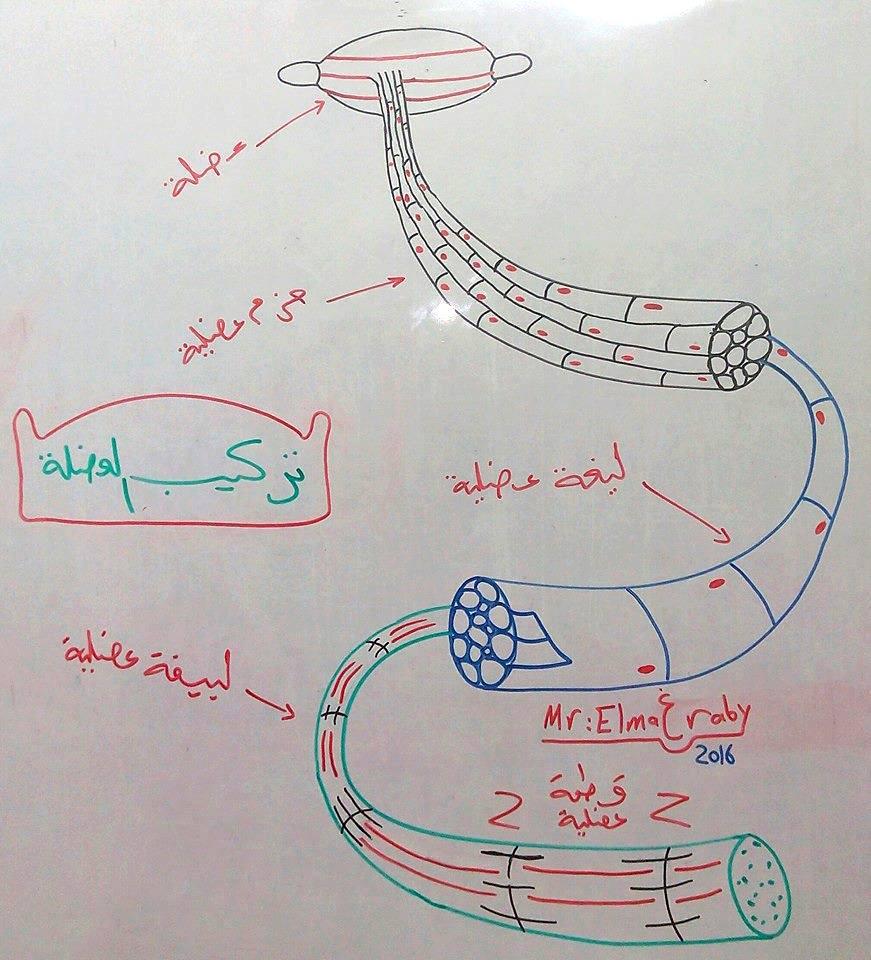 """رسم توضيحي جميل لكل من """"تركيب العضلة الهيكلية - مراحل نضج المتك - تشريح العقدة الليمفاوية"""" 001"""