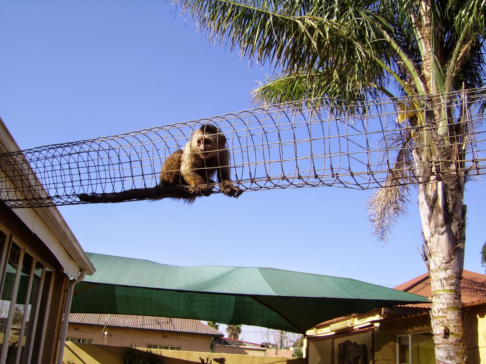 Rea's crazy mind: Playgroup for Capuchin pet monkeys in ...