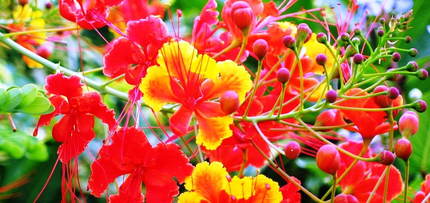 National Flower Of Barbados