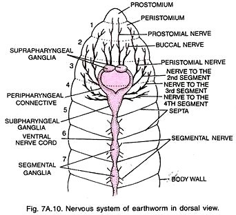 Earthworm Ventral Nerve Cord Diagram - DIY Enthusiasts Wiring Diagrams •