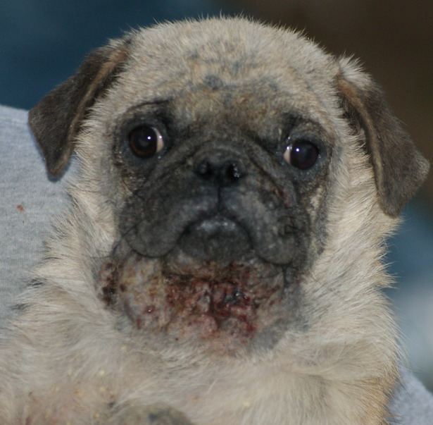 Can Mange Hurt Dogs