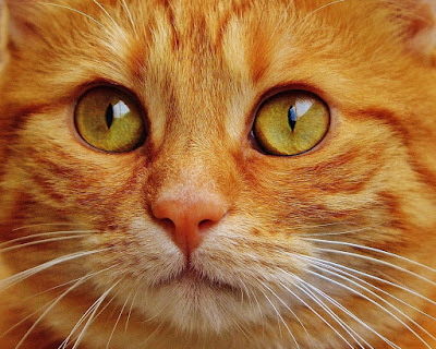 cat with yellow eyes normal resolution hd wallpaper