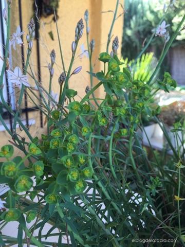 Euphorbia sp y asphodelus fistulosus