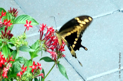 Adult Giant Swallowtail Butterfly