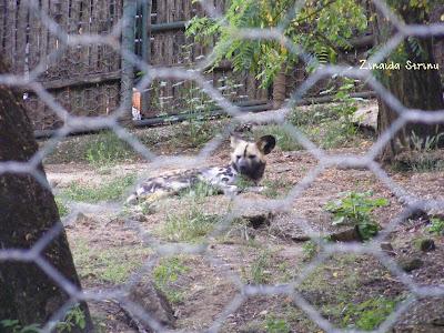 zoo-roma-lycaon