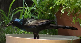 Photograph of Common Grackle by Darla Sue Dollman