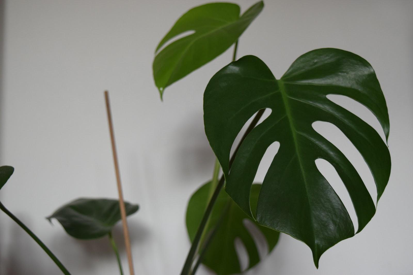 monstera deliciosa cheese plant leaves