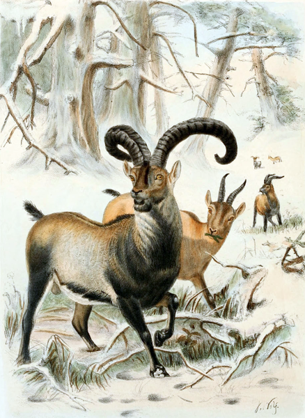 pyrenean-ibex-list-trend