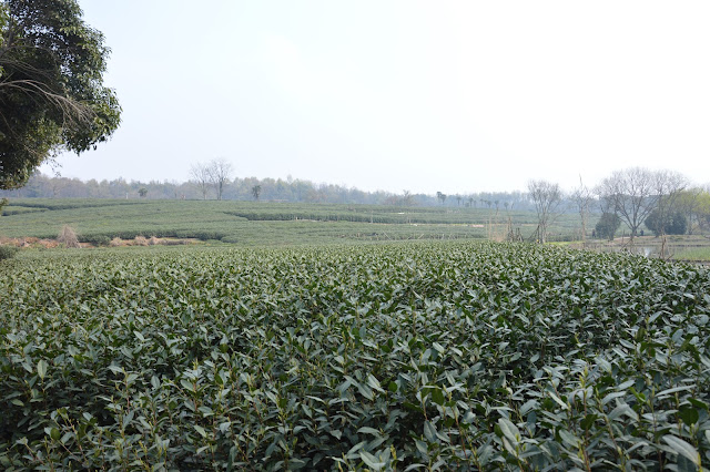 Plantation de thé à Hangzhou