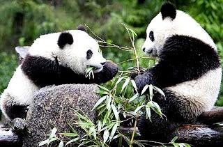 Fotos de osos panda alimentándose