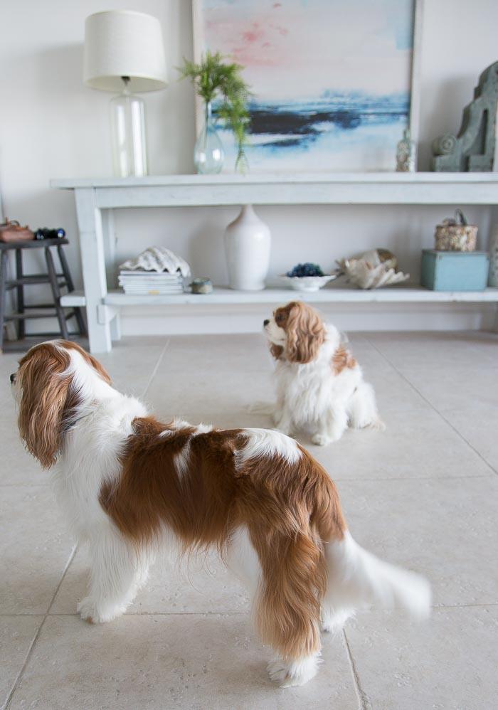 pair of cavalier king charles spaniels