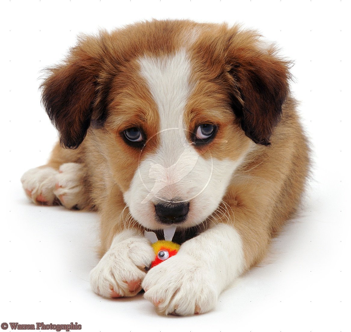 Cute Puppy Dogs: cute border collie puppies