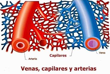 Intercambio capilar de líquidos, nutrientes y hormonas