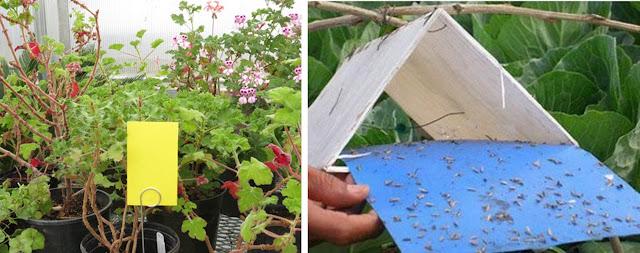 Menangkap Hama Serangga Menggunakan Perangkap Warna