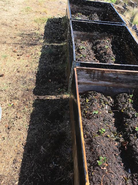Tips til bruk av tang i hagen - Nysatte jordbær i pallekarmer IMG_5733-min
